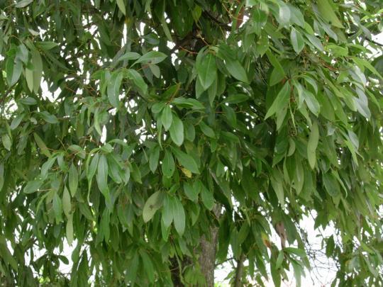 香楠木图片欣赏