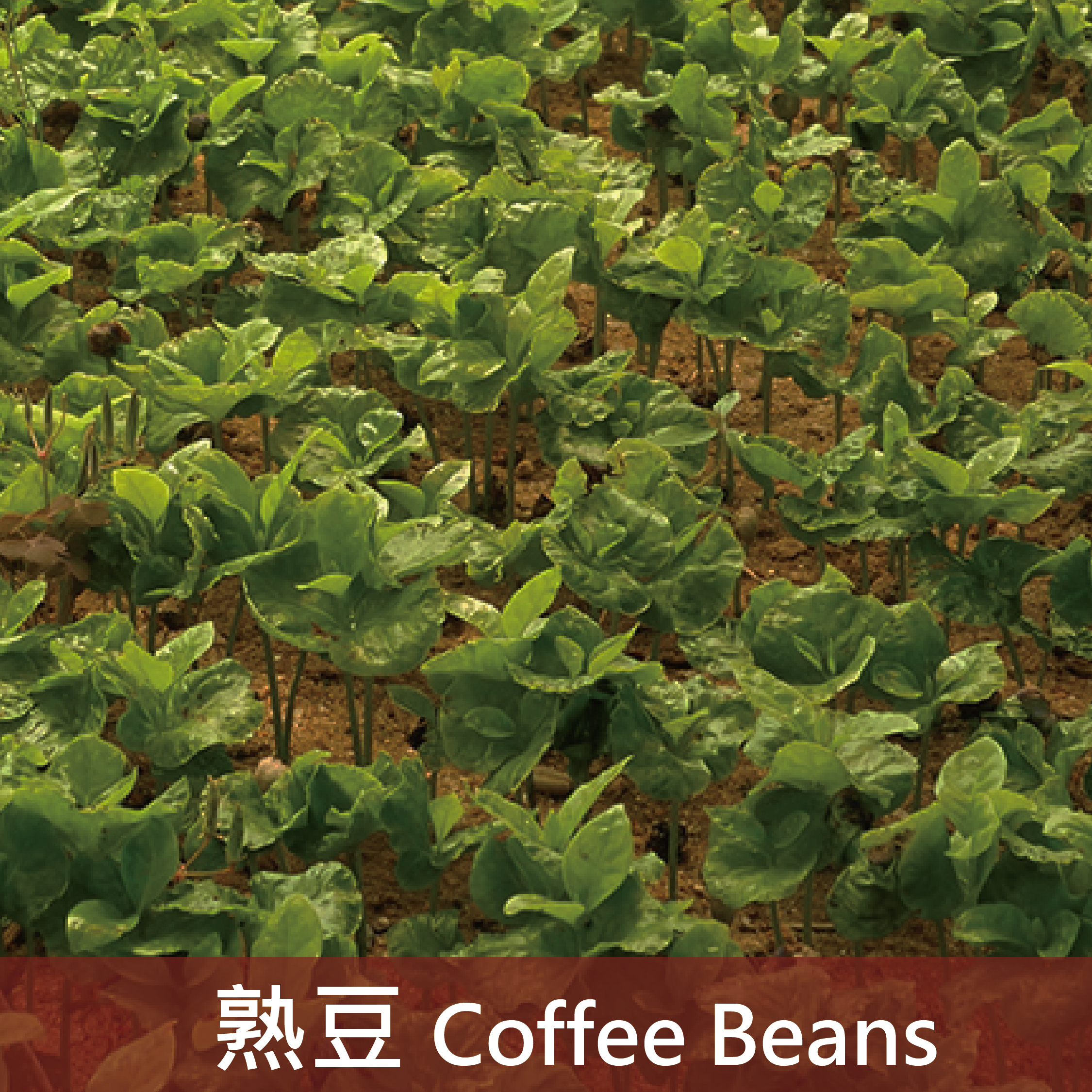 肯亞 多門PB小圓豆(中深焙4)