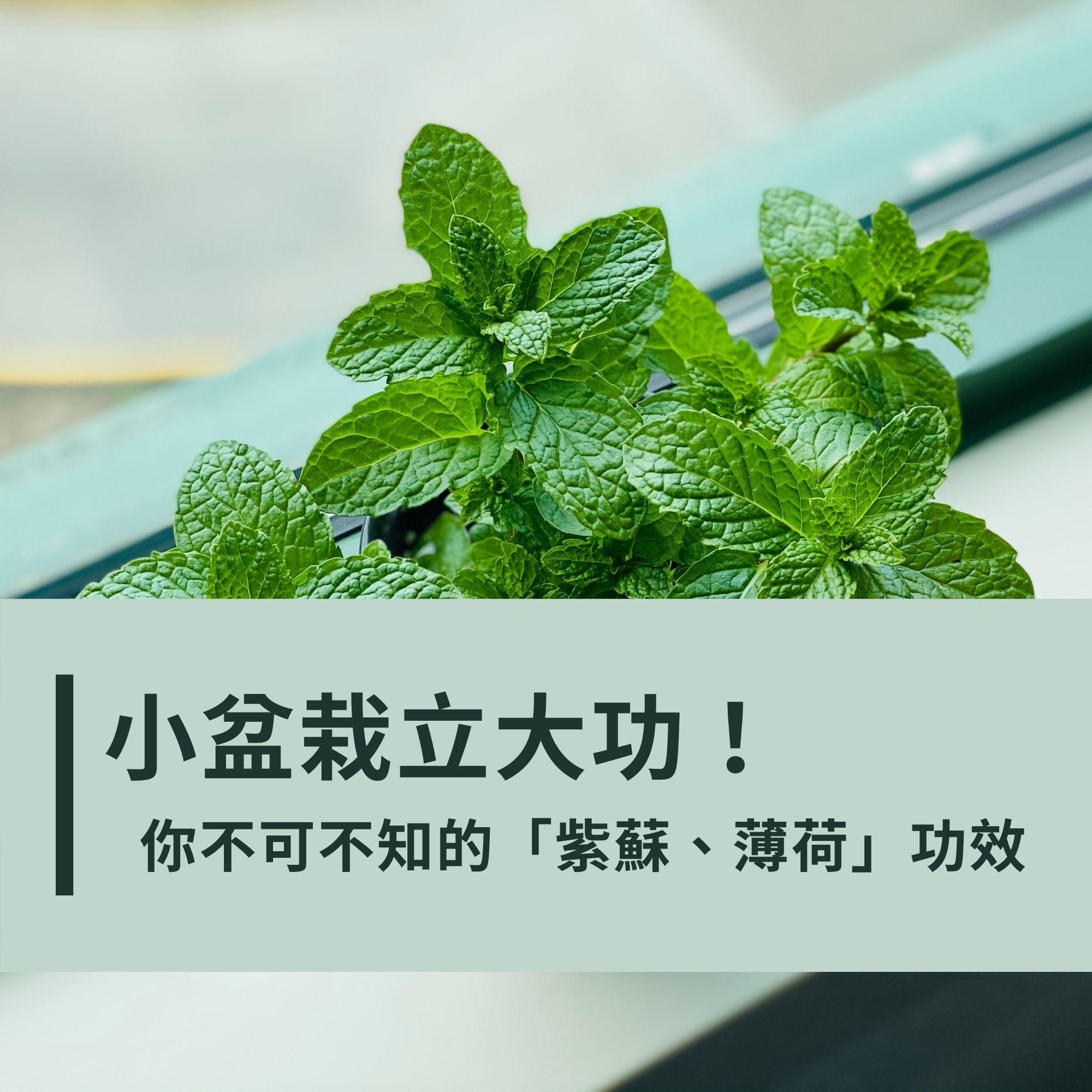 小盆栽立大功!你不可不知道的「紫蘇、薄荷」功效:沖泡養生還能抑制新冠肺炎