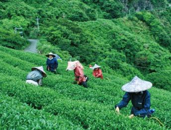 日月潭之光-台茶18號