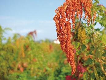 穀物的紅寶石-台灣紅藜