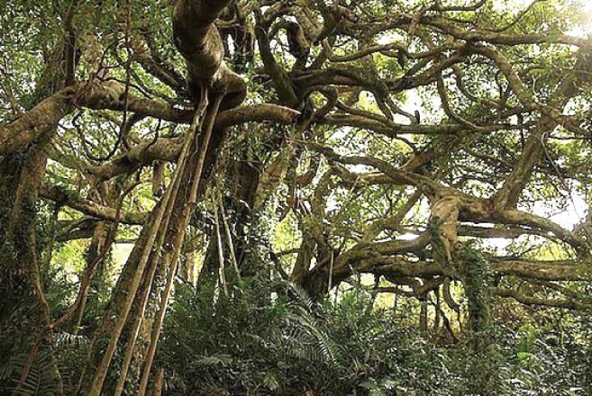 鸞山的原生榕樹又被稱為「會走路的樹」,因為榕樹的氣根會不停擴展蔓延,宛如置身阿凡達的情境。