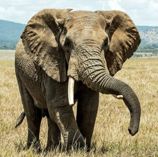 非洲獵象禁令解除  獵區驚現大象恐怖死狀