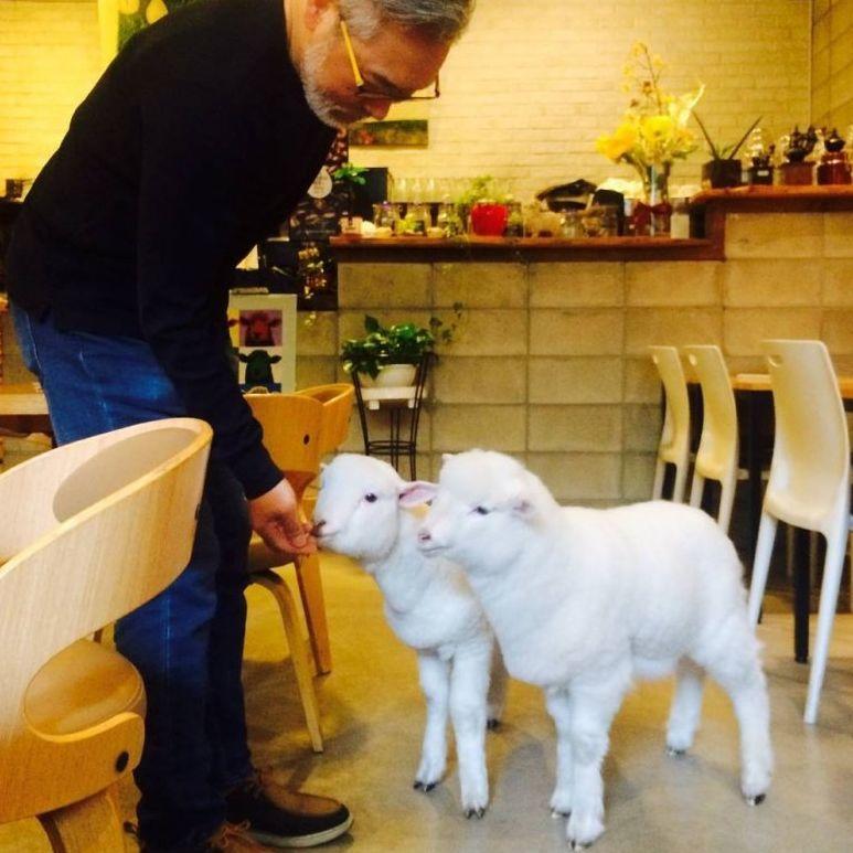 韓國首爾小綿羊Café 羊羊太可愛了都可以任意抱和打卡哦!