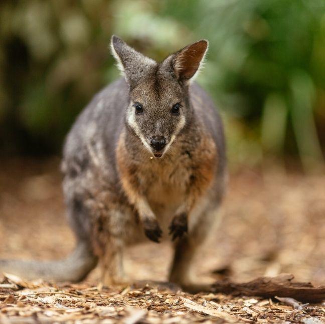 近距離欣賞不同的野生動物!澳洲全新生態度假酒店「塔龍加野生動物酒店」即將開幕