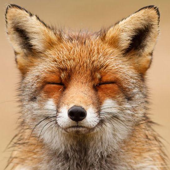 瞇瞇眼狐狸爆紅!這世界就是需要讓人療癒的動物!